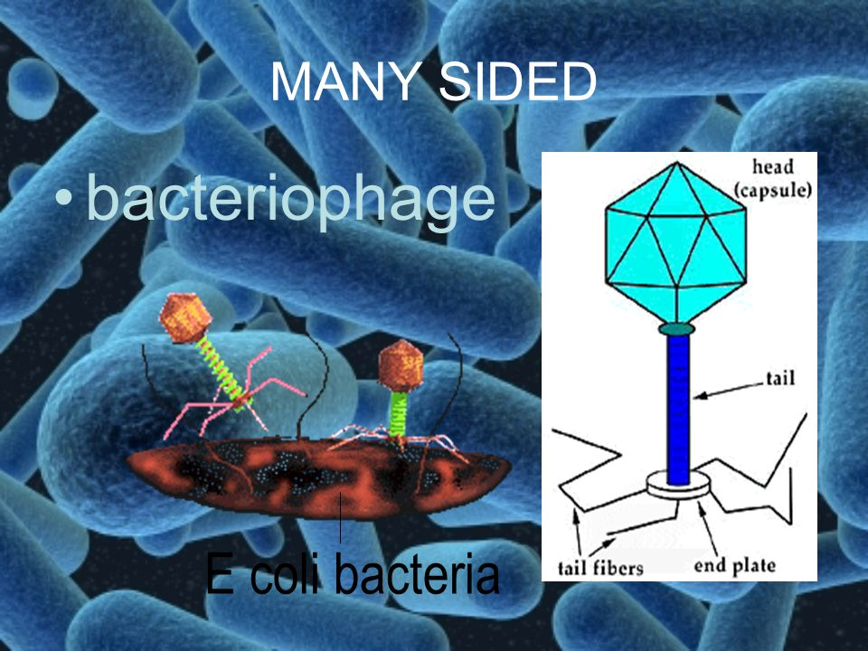 MANY SIDED bacteriophage E coli bacteria