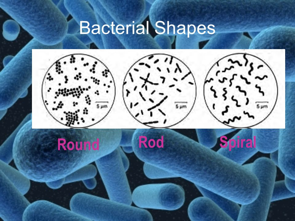 Bacterial Shapes Rod Spiral Round