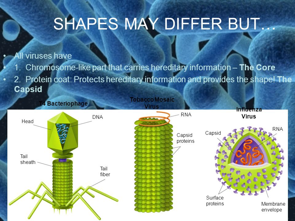SHAPES MAY DIFFER BUT… All viruses have