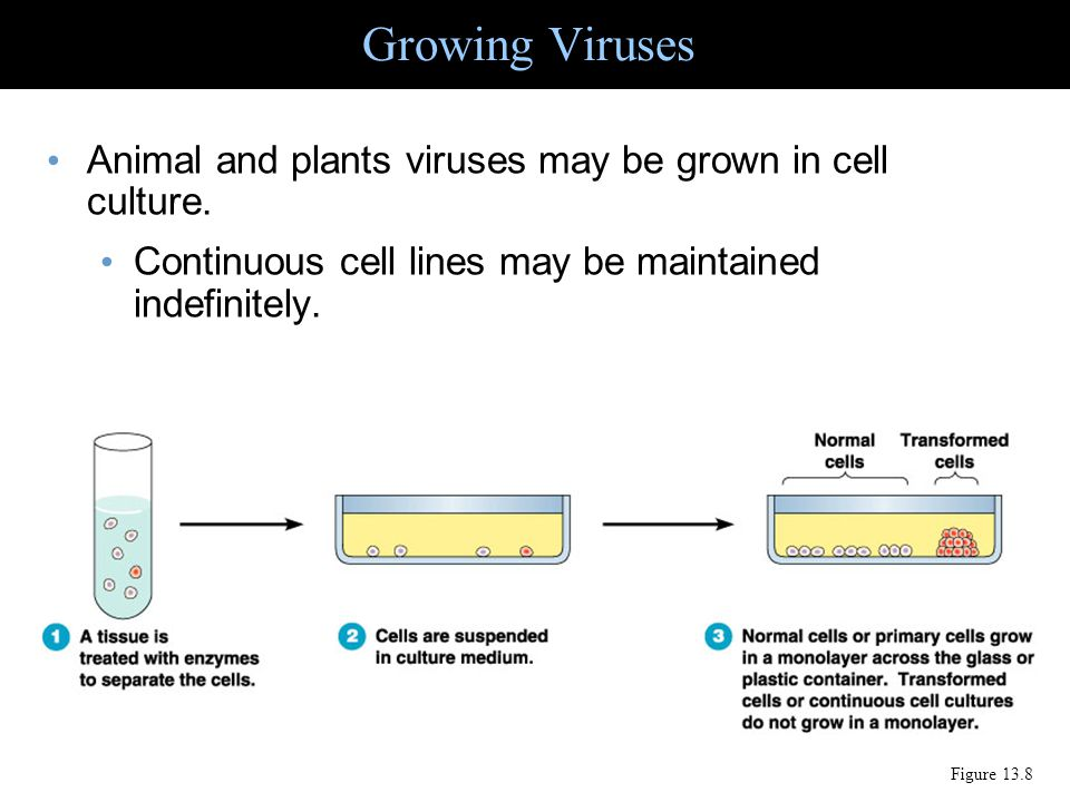 Growing Viruses Animal and plants viruses may be grown in cell culture. Continuous cell lines may be maintained indefinitely.