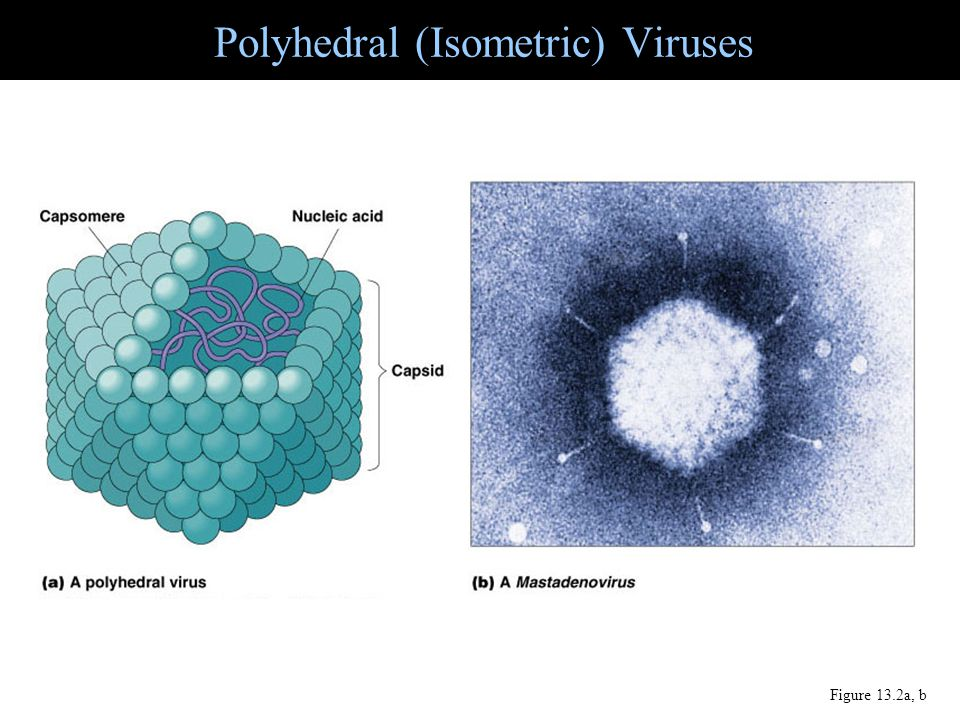 Polyhedral (Isometric) Viruses