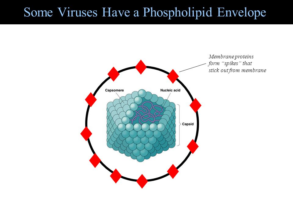 Some Viruses Have a Phospholipid Envelope
