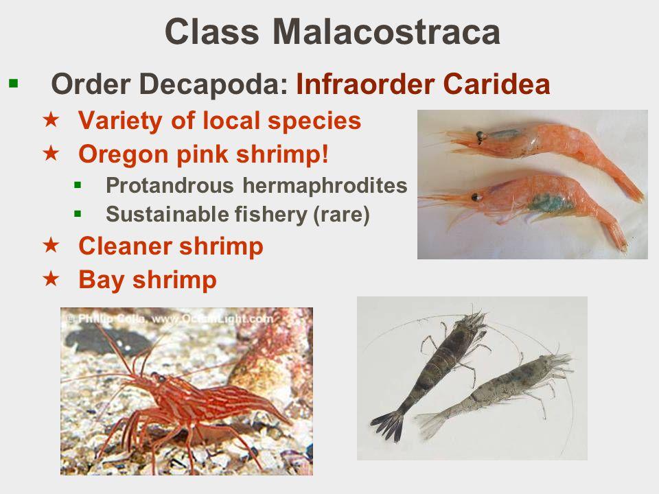Class Malacostraca Order Decapoda: Infraorder Caridea