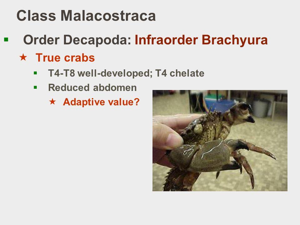Class Malacostraca Order Decapoda: Infraorder Brachyura True crabs