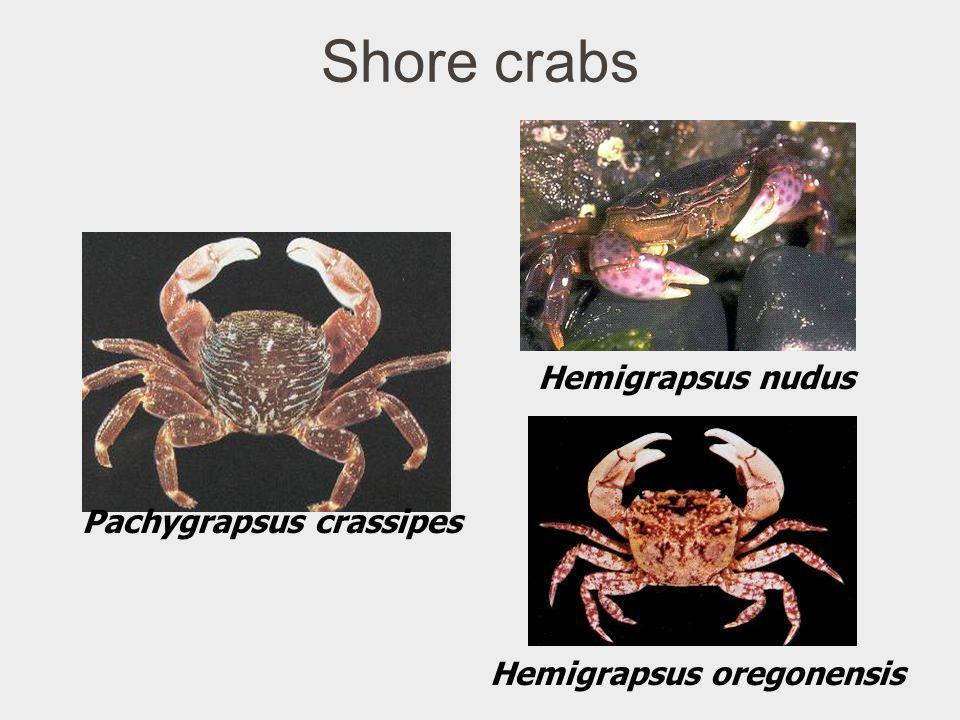 Shore crabs Hemigrapsus nudus Pachygrapsus crassipes