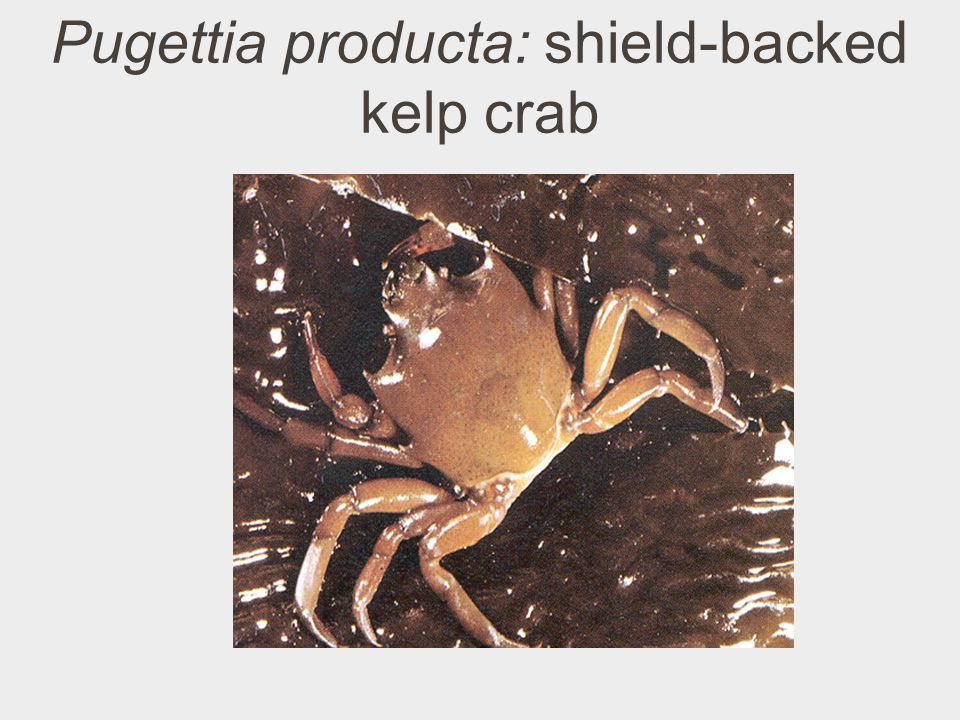 Pugettia producta: shield-backed kelp crab