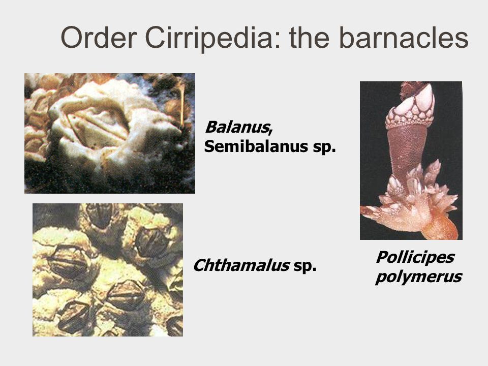 Order Cirripedia: the barnacles