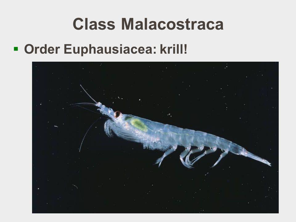 Class Malacostraca Order Euphausiacea: krill!