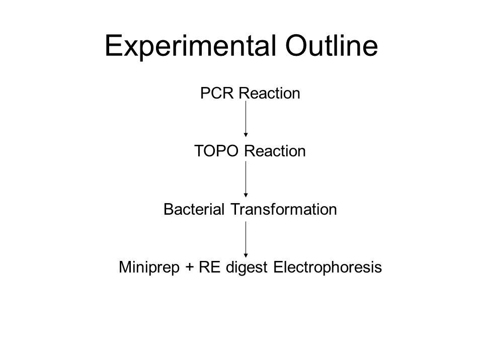 Experimental Outline PCR Reaction TOPO Reaction
