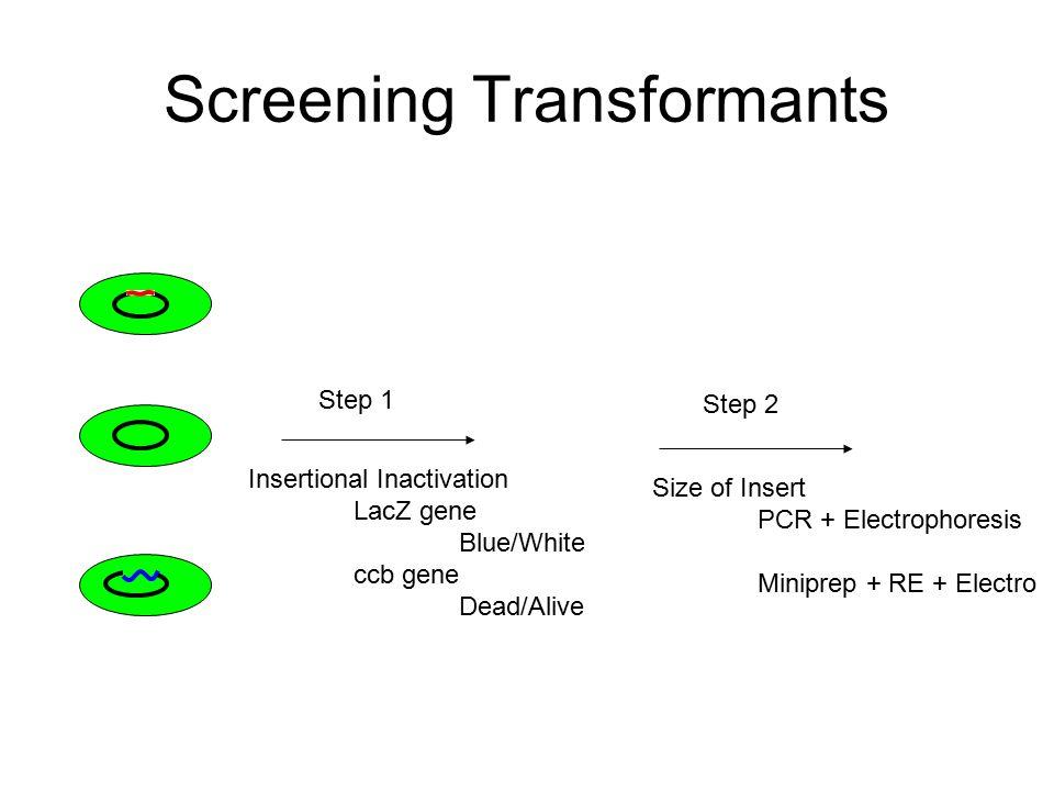 Screening Transformants
