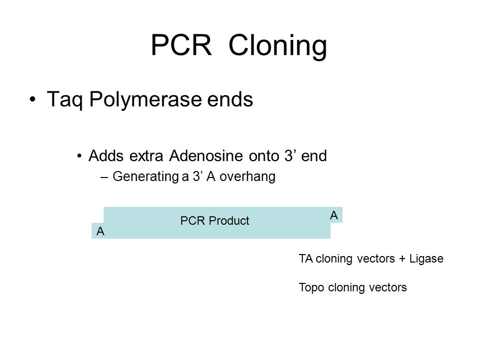 PCR Cloning Taq Polymerase ends Adds extra Adenosine onto 3' end