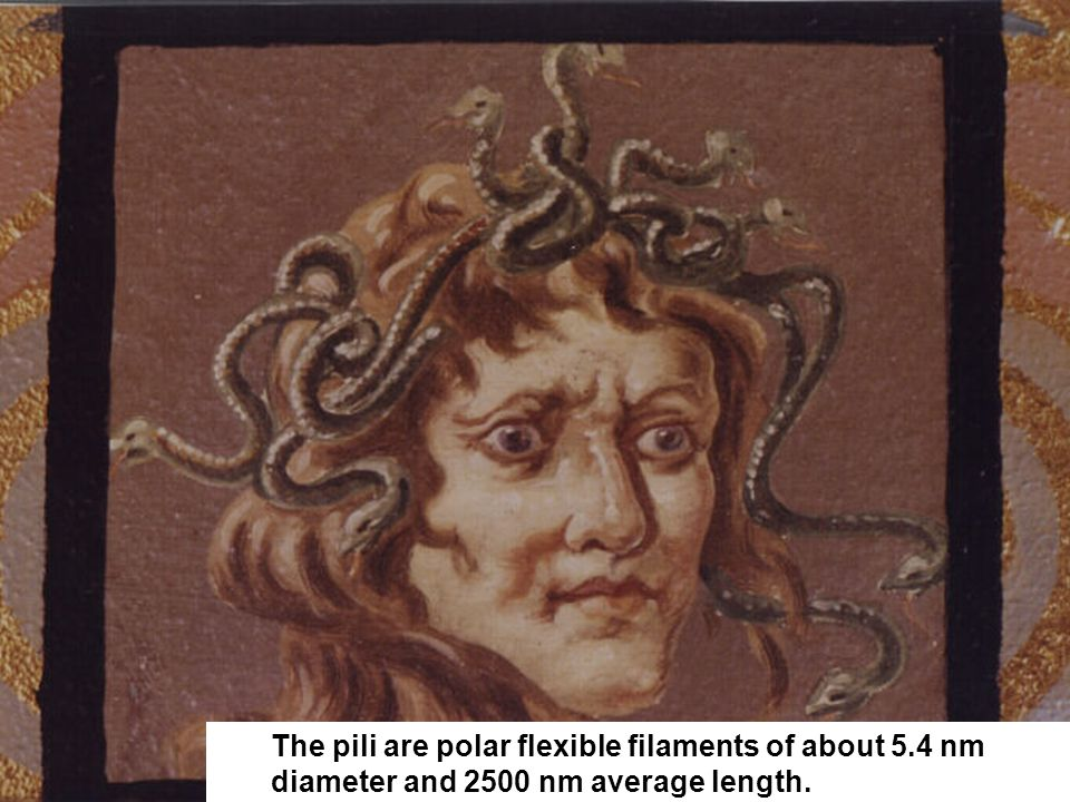The pili are polar flexible filaments of about 5