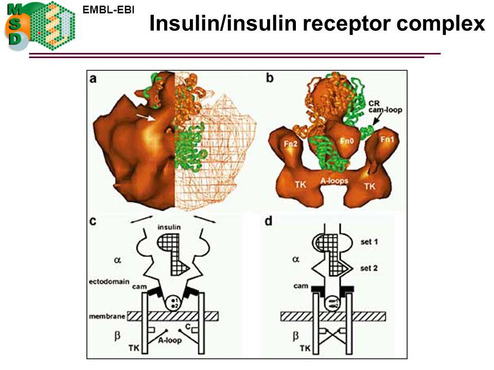Insulin/insulin receptor complex