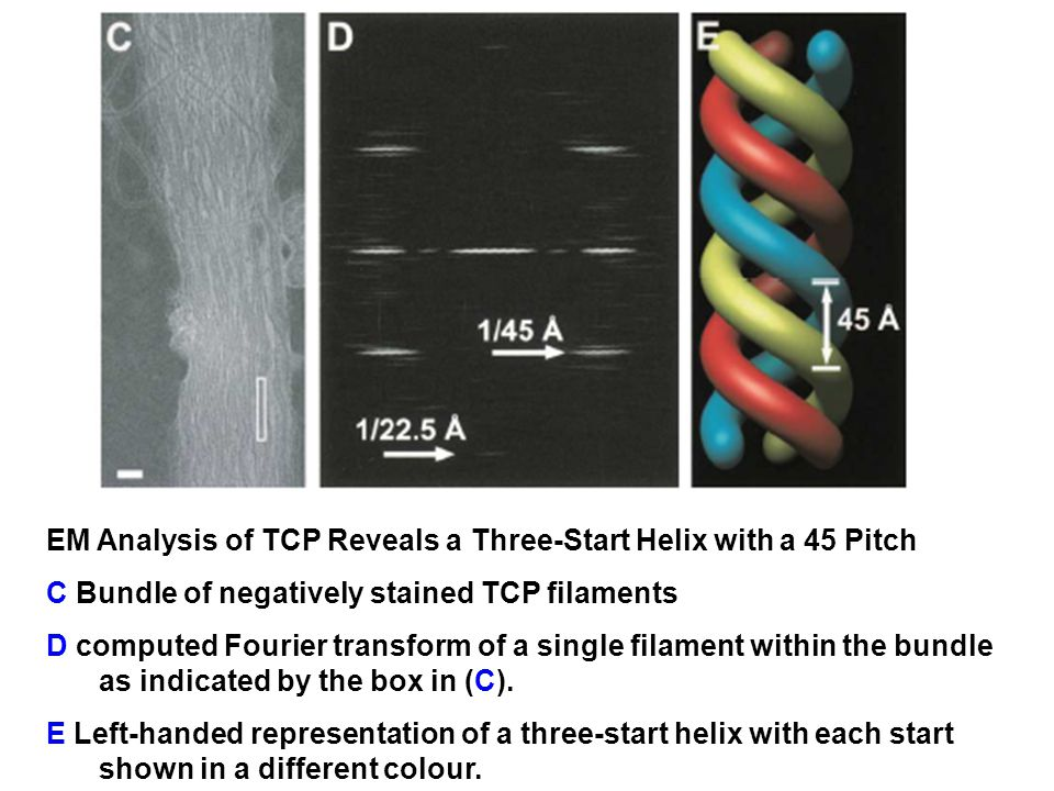 EM Analysis of TCP Reveals a Three-Start Helix with a 45 Pitch