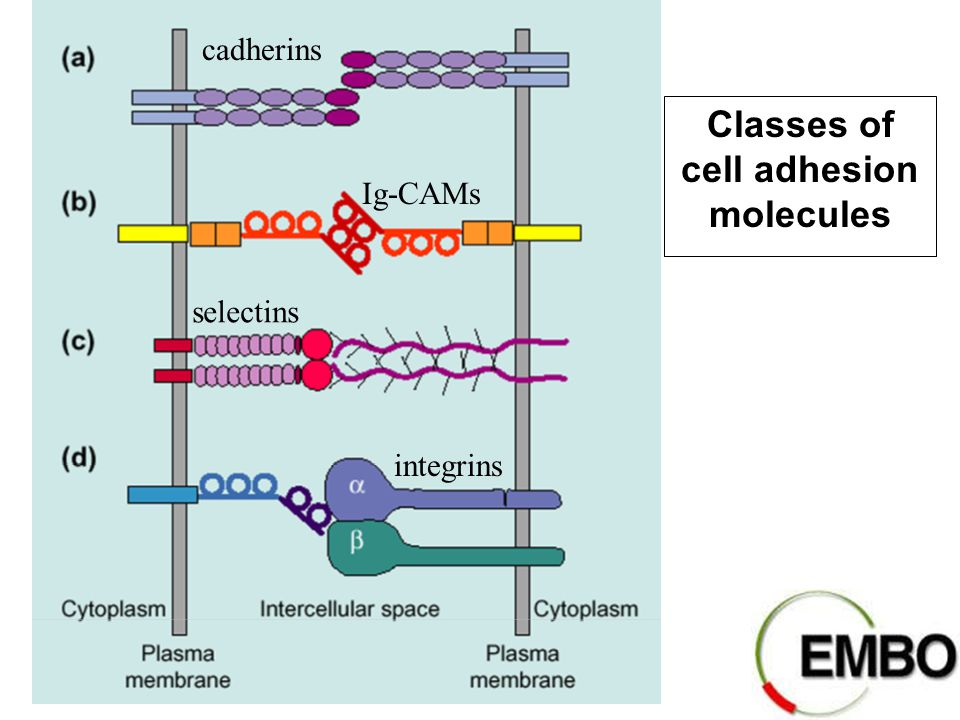 Classes of cell adhesion molecules