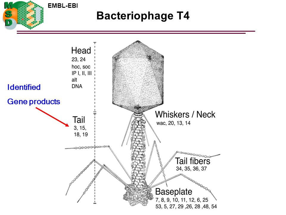 Bacteriophage T4 Identified Gene products