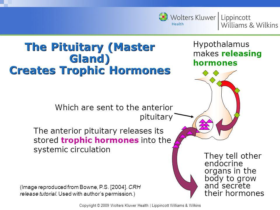 The Pituitary (Master Gland) Creates Trophic Hormones