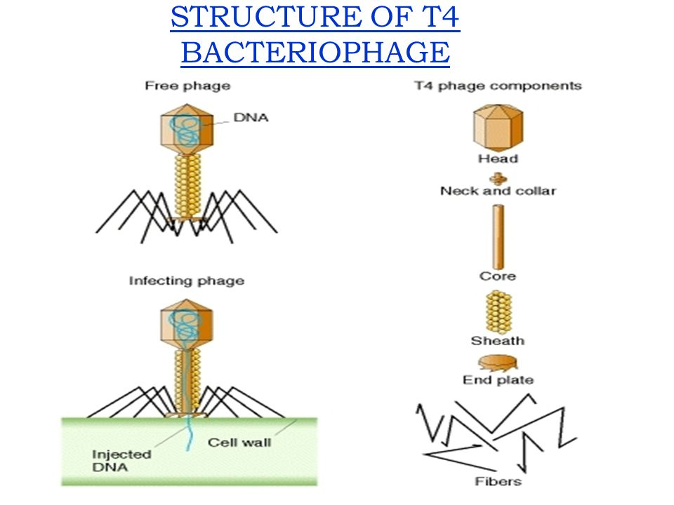 STRUCTURE OF T4 BACTERIOPHAGE