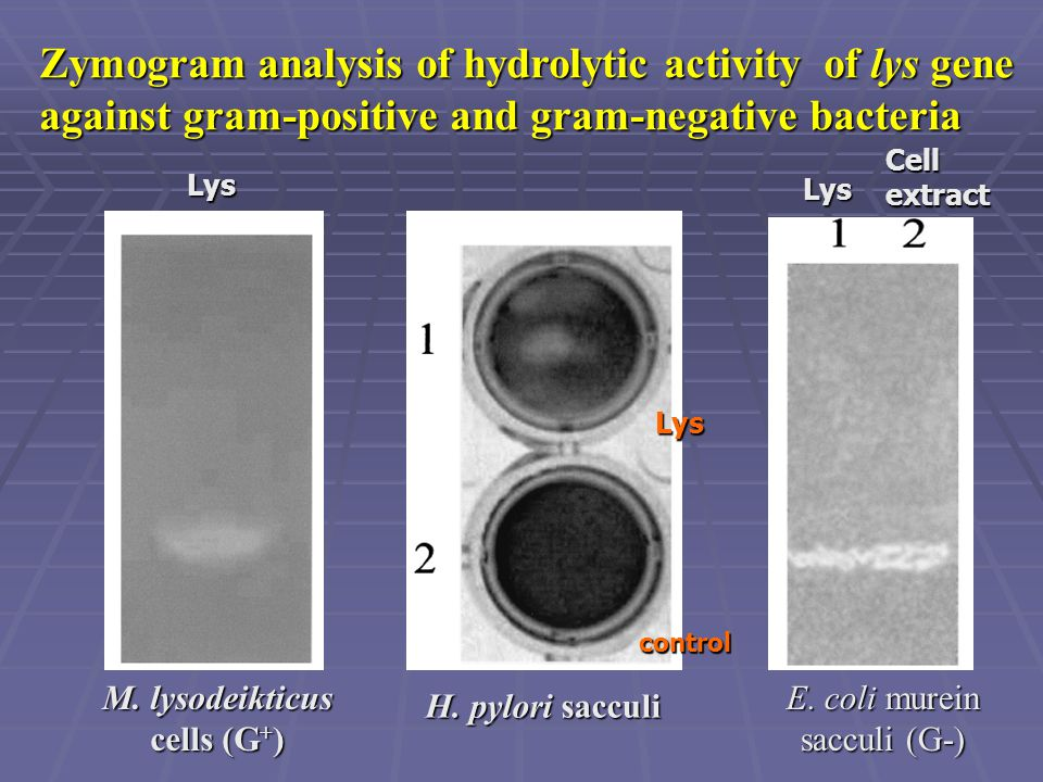 M. lysodeikticus cells (G+)