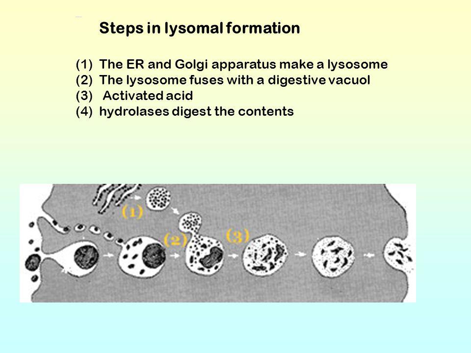 Steps in lysomal formation