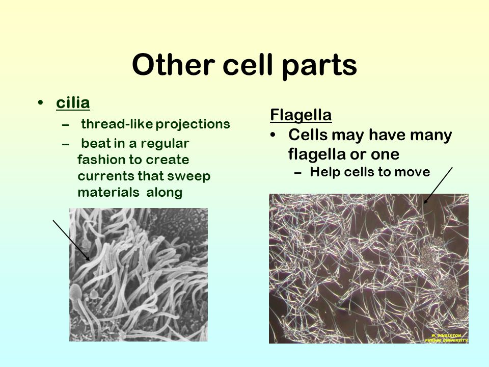Other cell parts cilia Flagella Cells may have many flagella or one