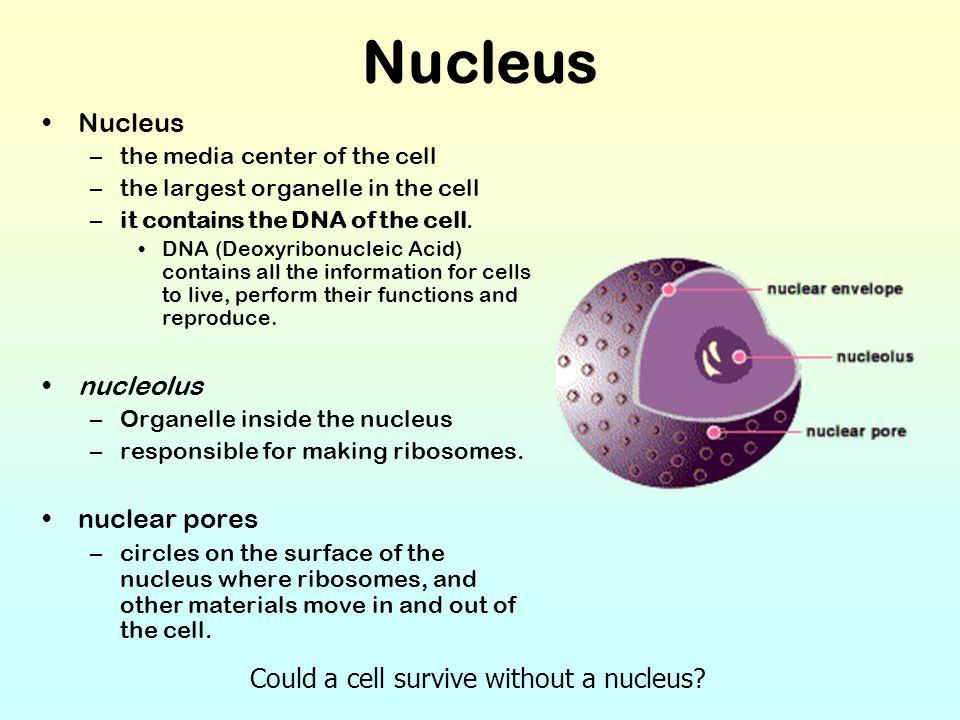 Nucleus Nucleus nucleolus nuclear pores