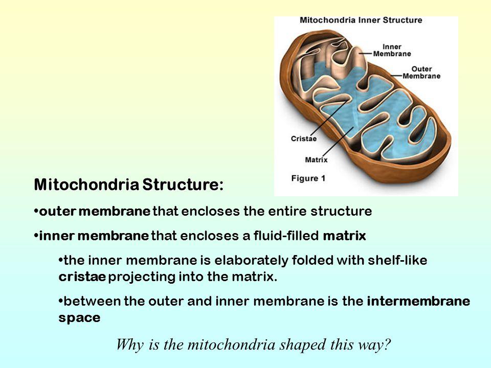 Mitochondria Structure: