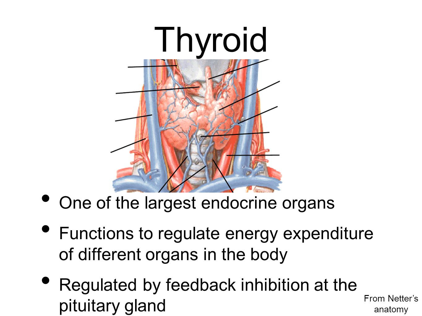 Thyroid One of the largest endocrine organs