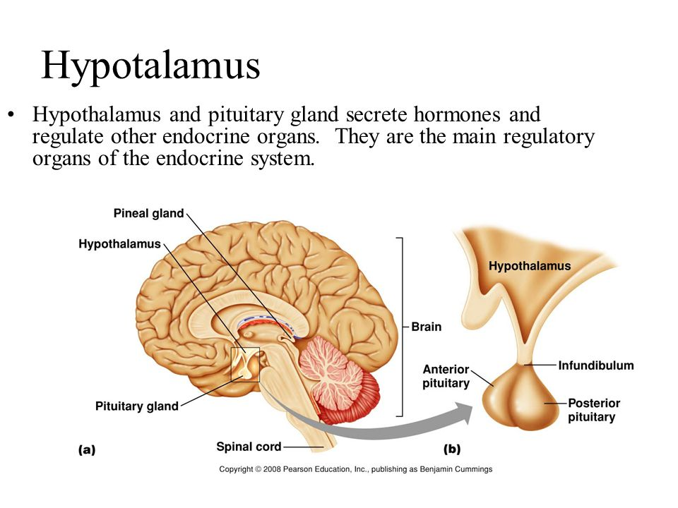 Hypotalamus