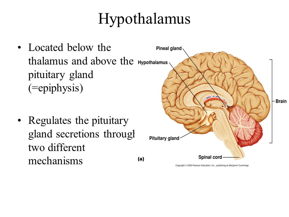Hypothalamus Located below the thalamus and above the pituitary gland (=epiphysis)