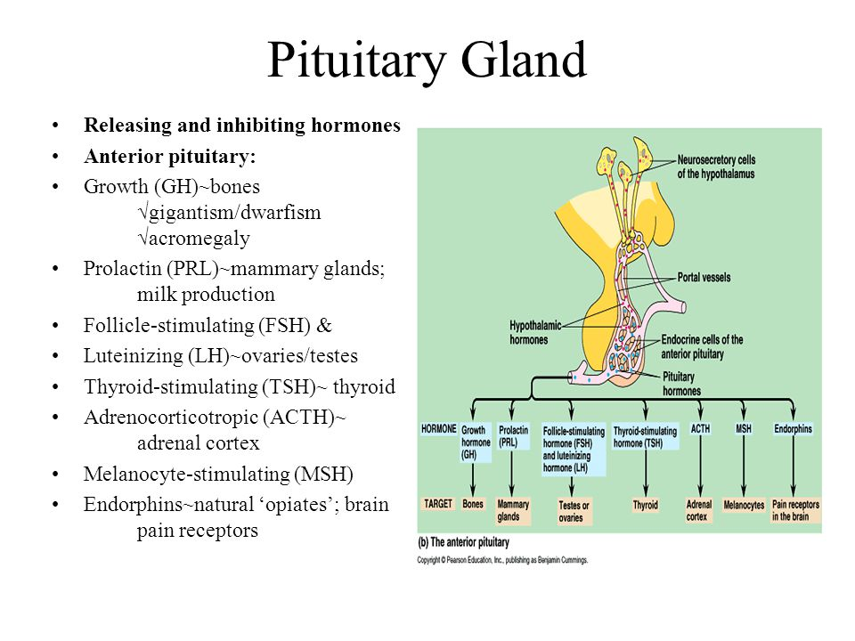 Pituitary Gland Releasing and inhibiting hormones Anterior pituitary: