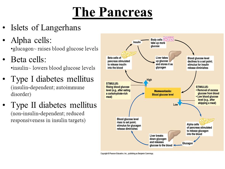 The Pancreas Islets of Langerhans