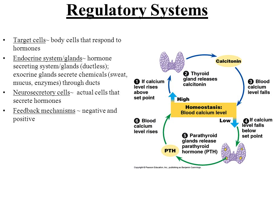 Regulatory Systems Target cells~ body cells that respond to hormones