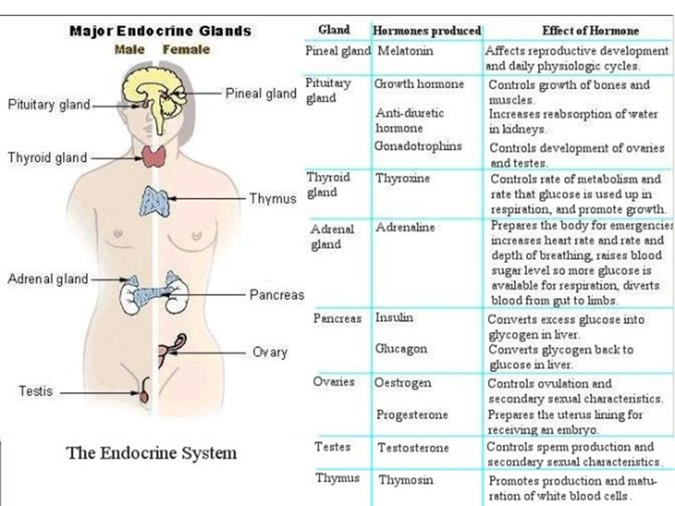 organization of the endocrine system The endocrine system has eight major glands the primary nih organization for research on endocrine diseases is the.