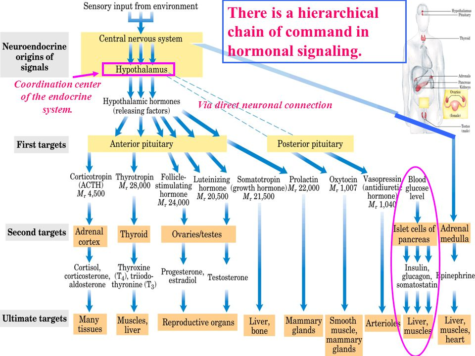 There is a hierarchical chain of command in hormonal signaling.
