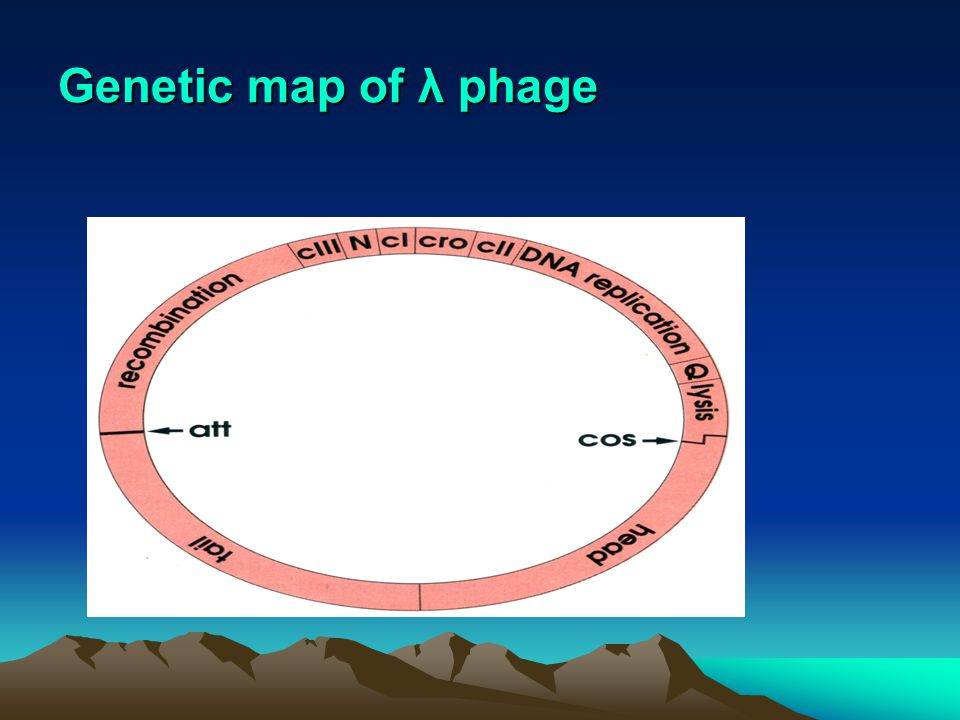 Genetic map of λ phage