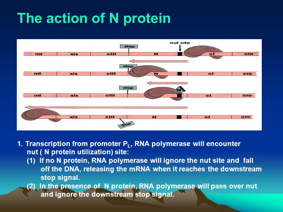 The action of N protein 1. Transcription from promoter PL, RNA polymerase will encounter. nut ( N protein utilization) site: