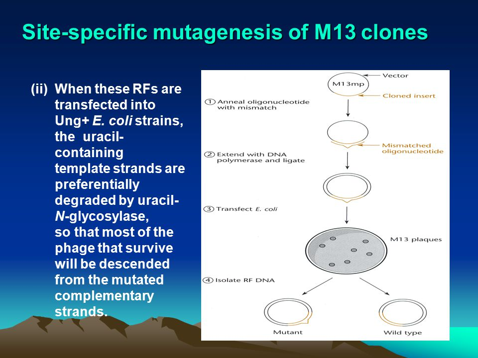 Site-specific mutagenesis of M13 clones