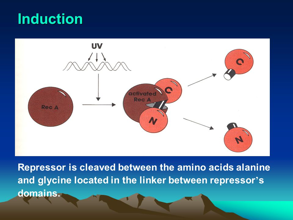 Induction Repressor is cleaved between the amino acids alanine