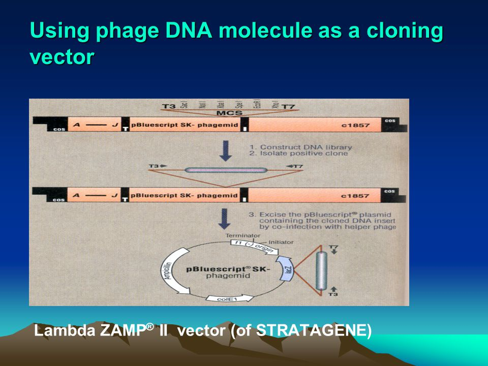 Using phage DNA molecule as a cloning vector