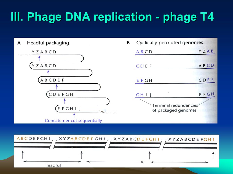 III. Phage DNA replication - phage T4