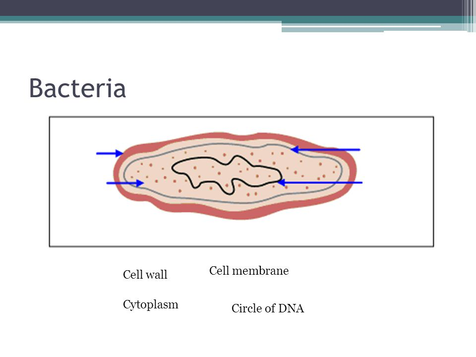 Bacteria Cell membrane Cell wall Cytoplasm Circle of DNA