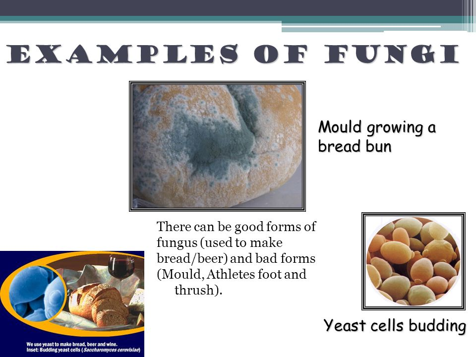 Examples of fungi Mould growing a bread bun Yeast cells budding