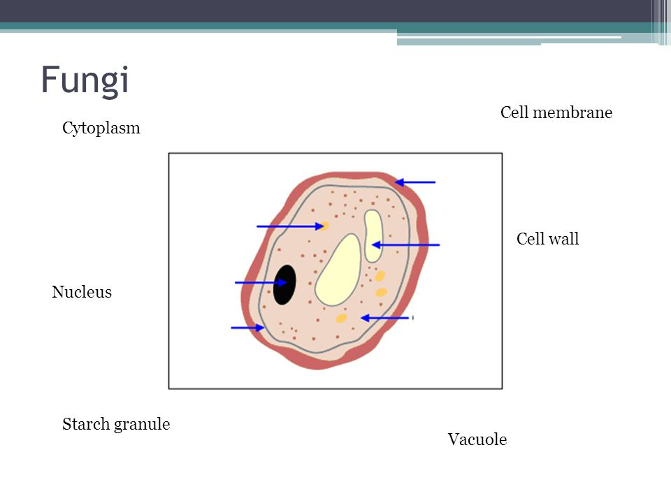 Fungi Cell membrane Cytoplasm Cell wall Nucleus Starch granule Vacuole