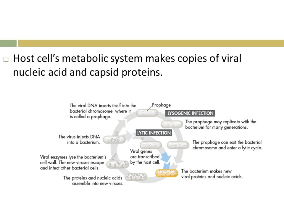 Host cell's metabolic system makes copies of viral nucleic acid and capsid proteins.