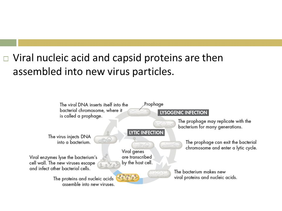 Viral nucleic acid and capsid proteins are then assembled into new virus particles.