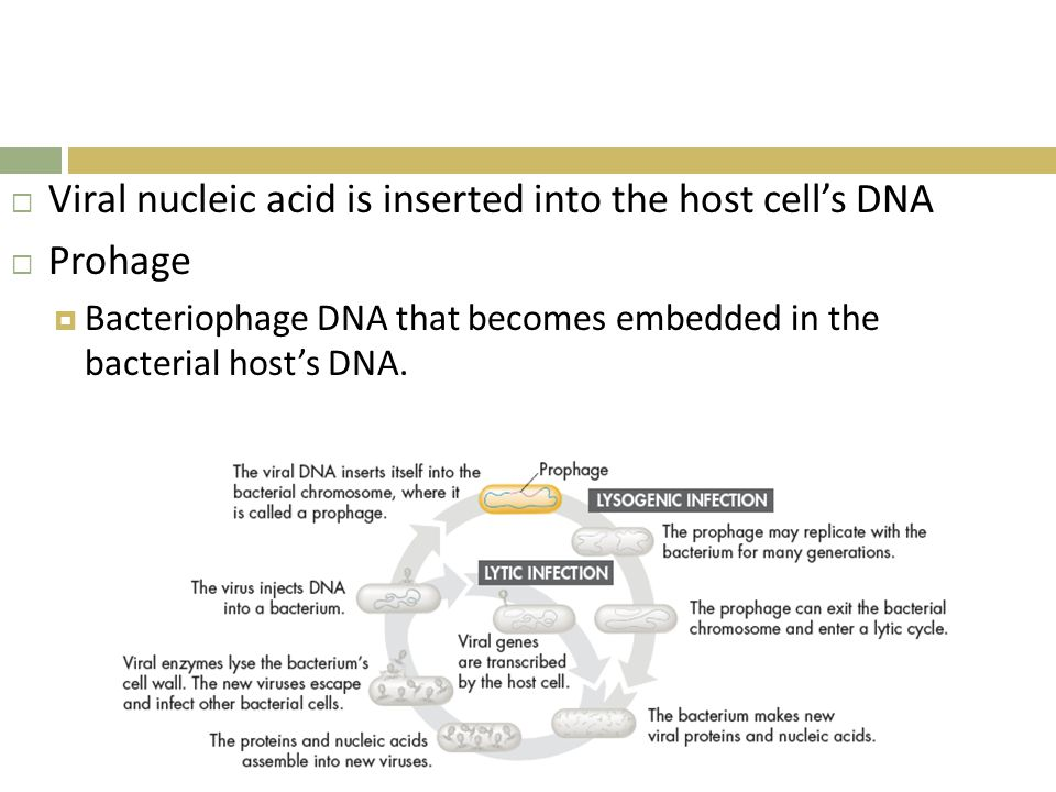Viral nucleic acid is inserted into the host cell's DNA Prohage