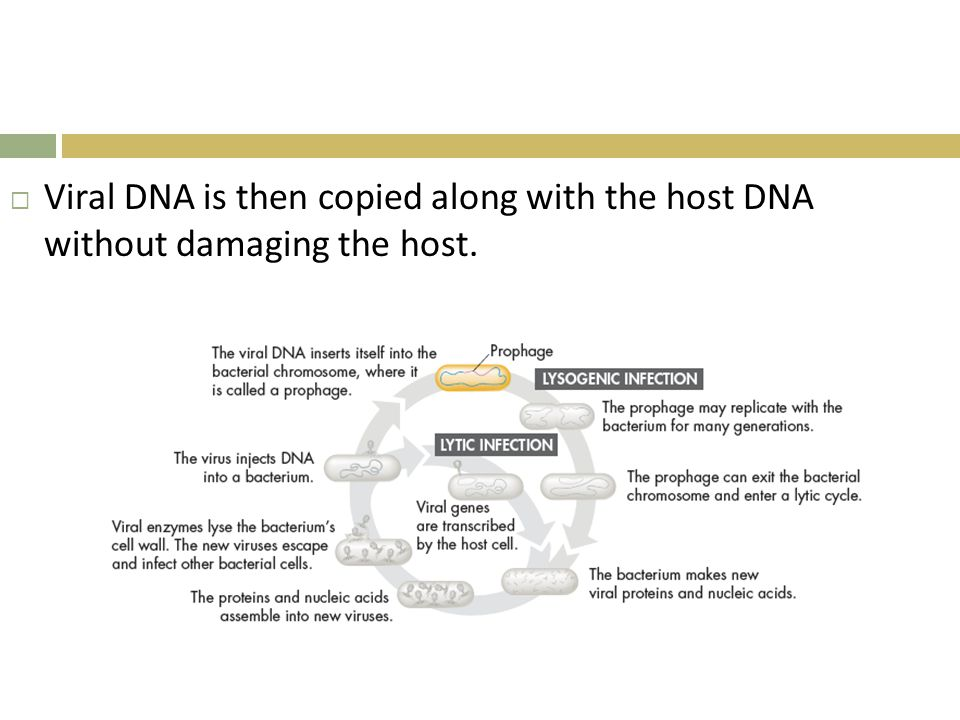 Viral DNA is then copied along with the host DNA without damaging the host.