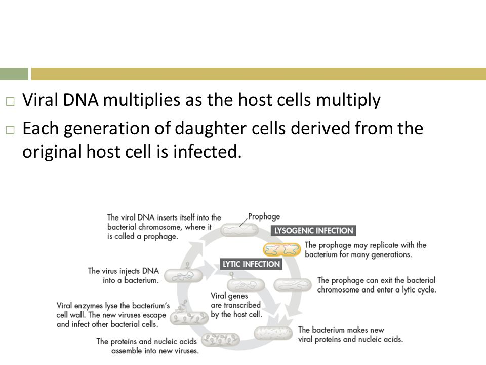 Viral DNA multiplies as the host cells multiply