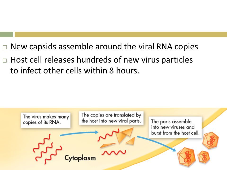 New capsids assemble around the viral RNA copies